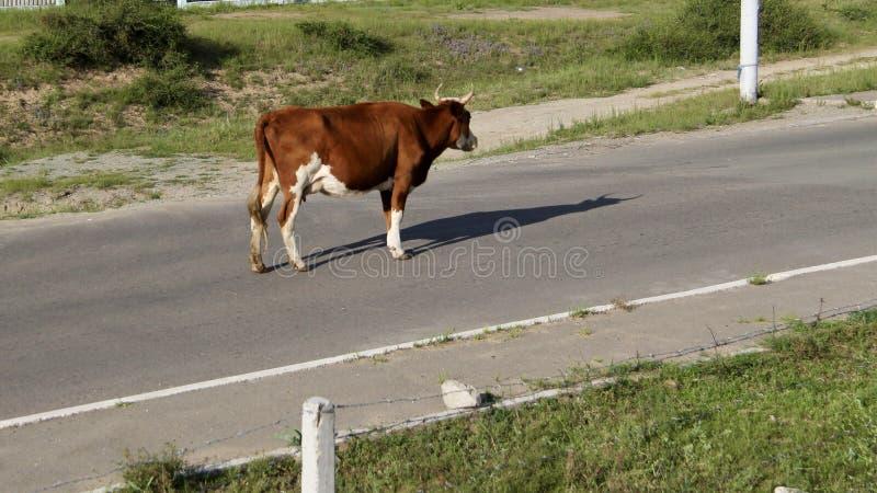 Bull debout au milieu de la route images libres de droits