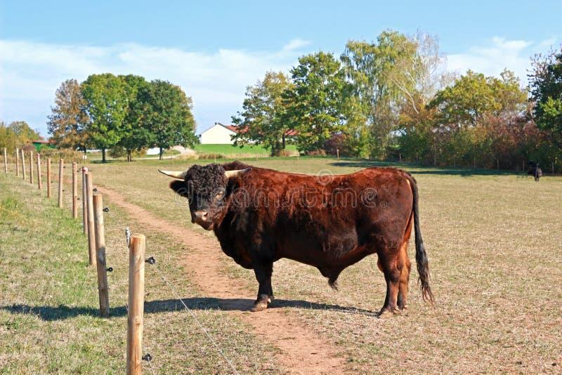 Bull do gado de Dexter da raça em um pasto imagens de stock