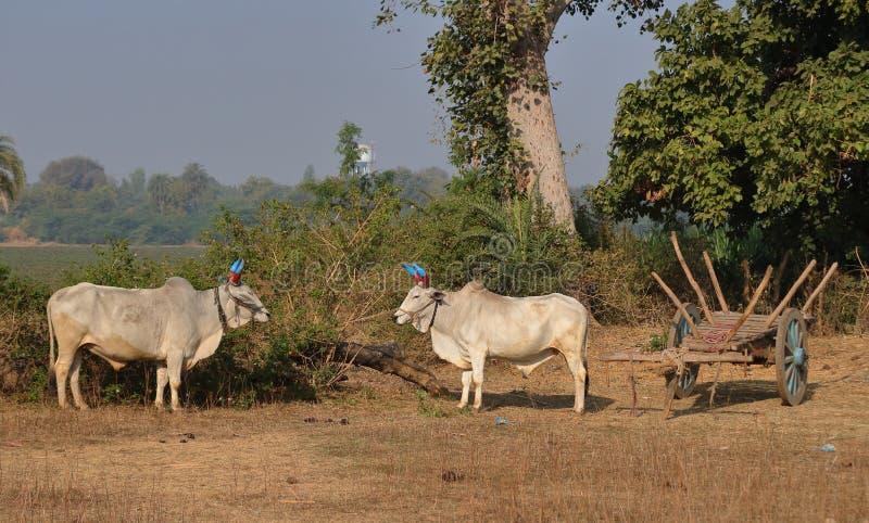 Bull e bullockcart fotos de stock