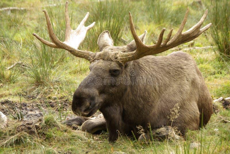 Bull eines Elchs stockfotografie