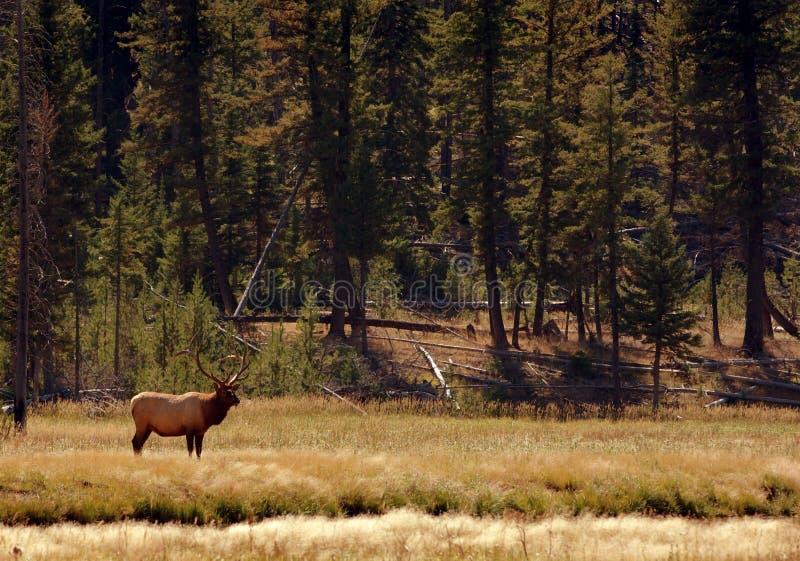 Bull-Elche, die in der Umgebung stehen lizenzfreie stockfotografie