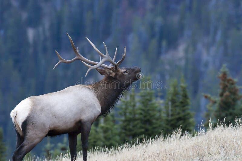 Bull-Elche, die im Holz benennen stockbild
