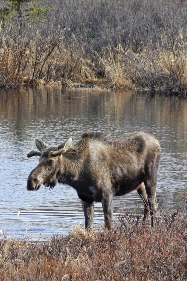 Bull-Elche im Tundra-Teich stockfotos