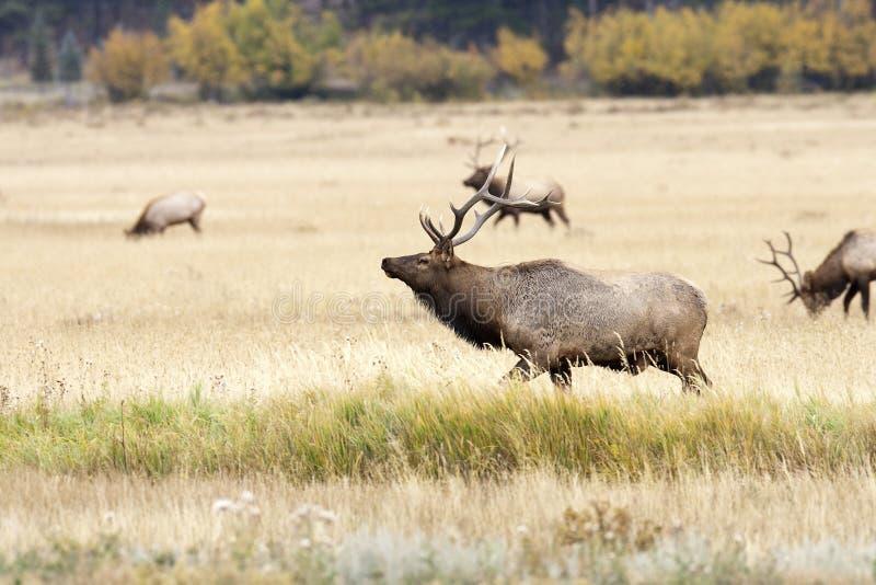 Bull-Elche und Herde lizenzfreie stockfotografie
