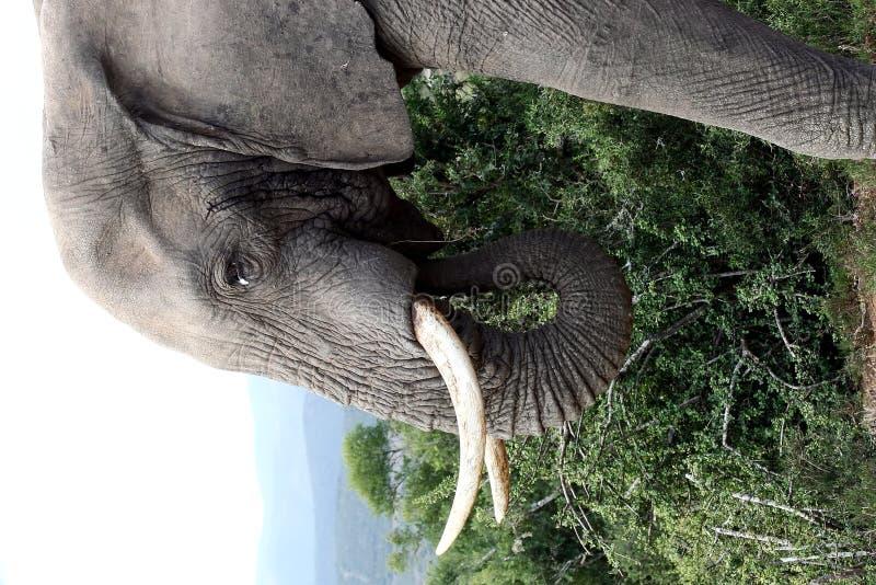 Bull-Elefant Potrait stockfotografie