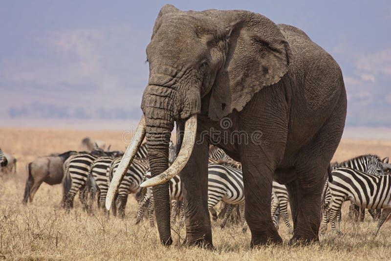 Bull elephant royalty free stock photography