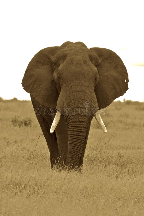 Free Bull Elephant Royalty Free Stock Image - 17617916
