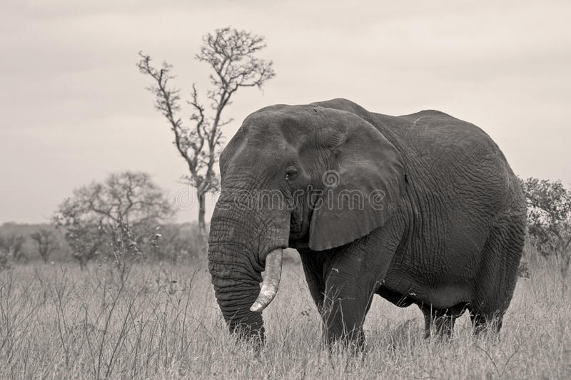 Download Bull elephant stock image. Image of wildlife, safari - 17617927