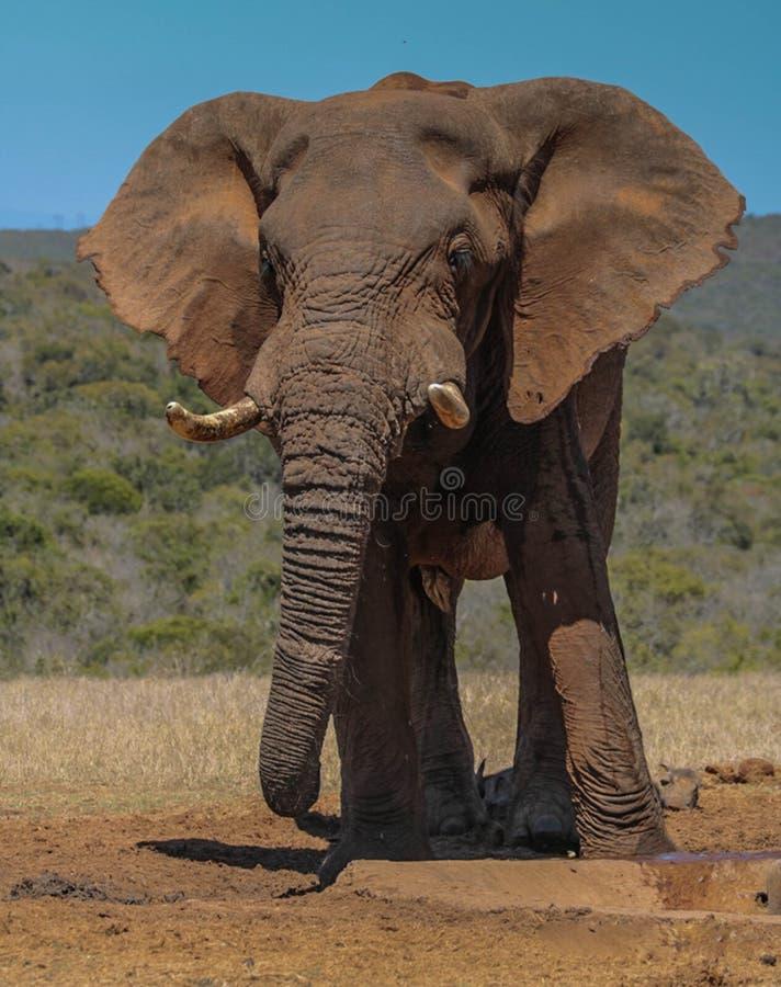 Bull elephant. A bull elephant drinking from a waterhole in Addo Elephant Park, southafrica stock photo