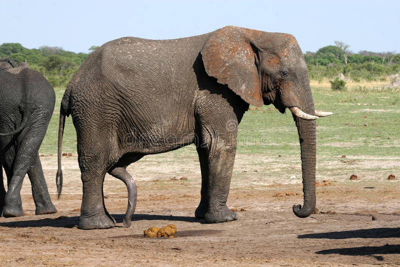 Elefanten Porno