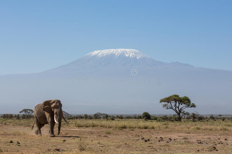 Bull Elephant with Kilimanjaro in background, Amboseli, Kenya. Bull Elephant with Kilimanjaro in background, Amboseli National Park, Kenya stock image