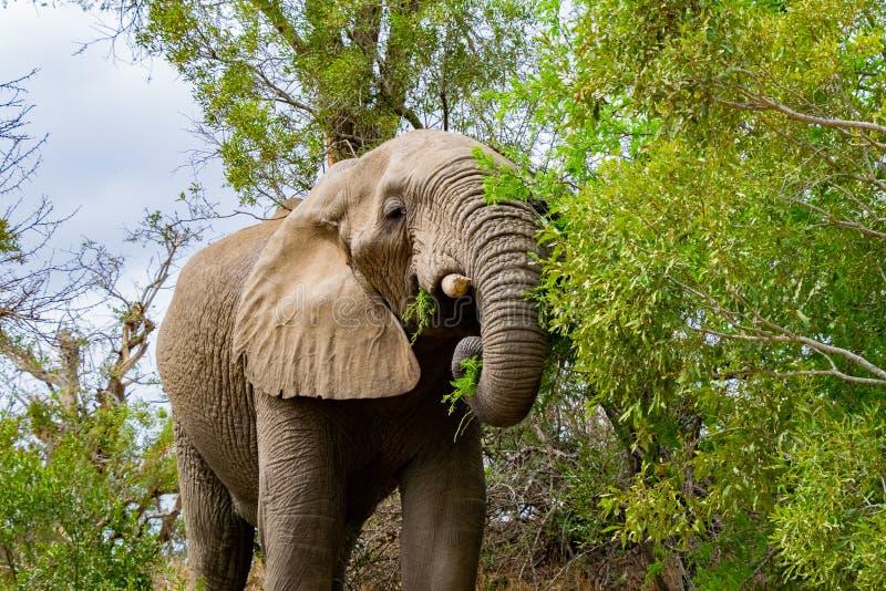 Bull Elephant Munching on a Tree stock photo