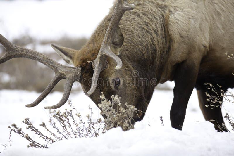 Bull Elk royalty free stock image
