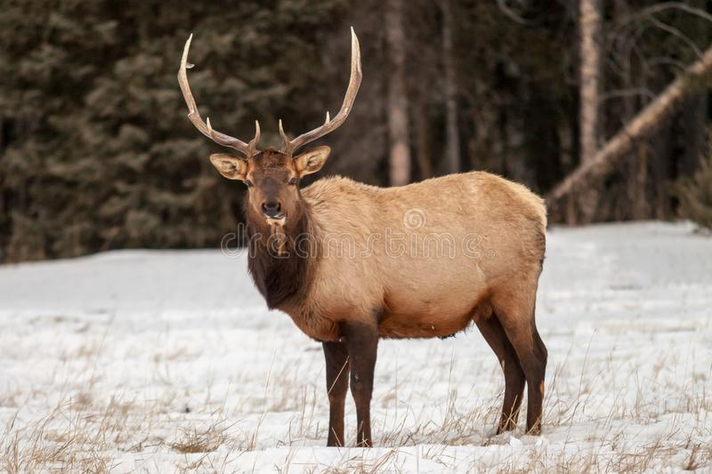 Bull elk in Banff National Park in winter stock images