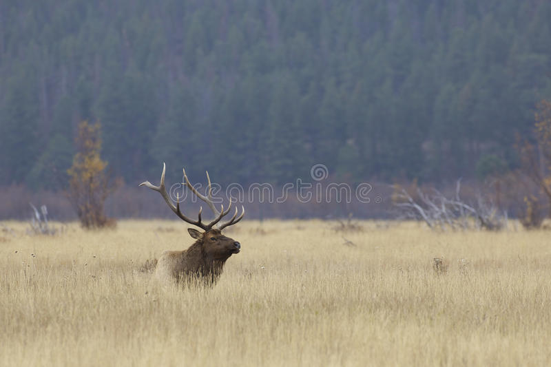 Download Bull Elk Bedded in Grass stock photo. Image of animal - 27699112