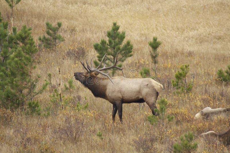Download Bull Elk Bugling stock image. Image of wildlife, bugling - 29224231