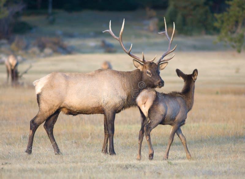 Bull elk and a calf royalty free stock photo