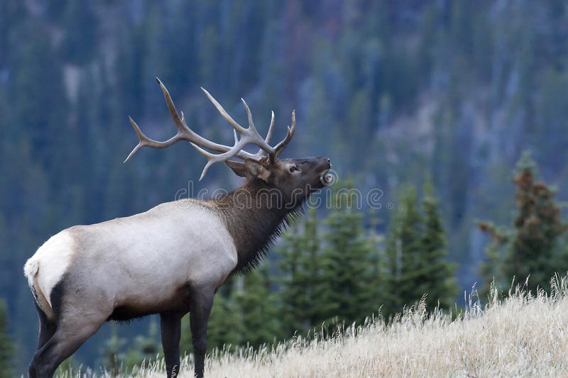 Bull elk calling in the woods. Bull elk calling in Rocky Mountain National Park on Trail Ridge Road during fall mating season late in the day