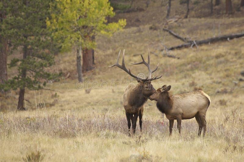 Bull Elk and Cute Calf Nuzzling royalty free stock photos