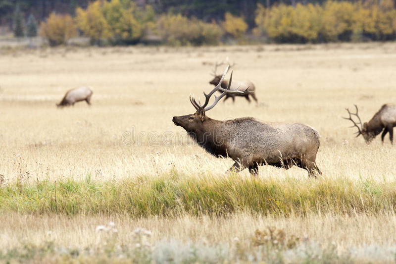 Bull Elk and Herd royalty free stock photography