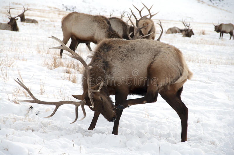 Bull Elk with Large Antlers. A large bull elk scratching his nose in the snow. He has 6 points on each side. A trophy elk royalty free stock photo