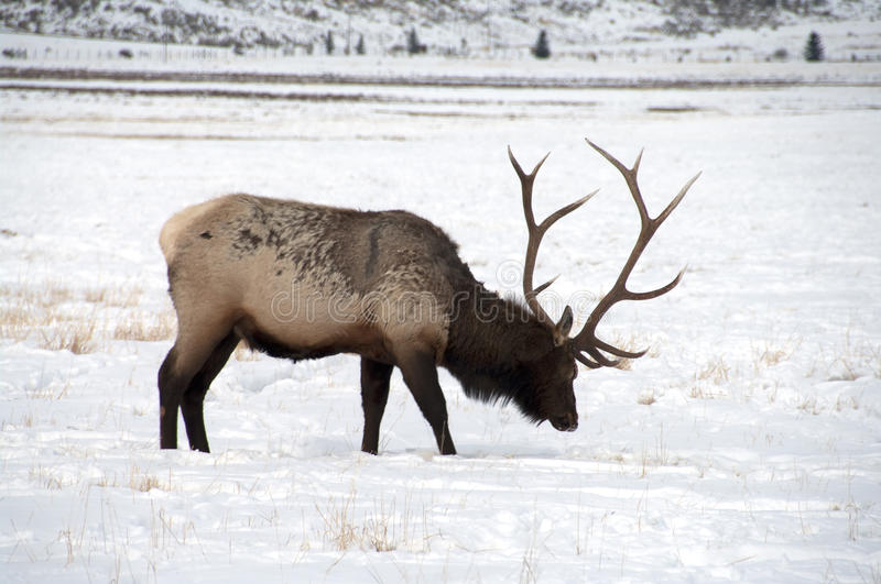 Bull Elk with Large Antlers. A large bull elk in the snow. He has 6 points on each side. A trophy elk stock photos