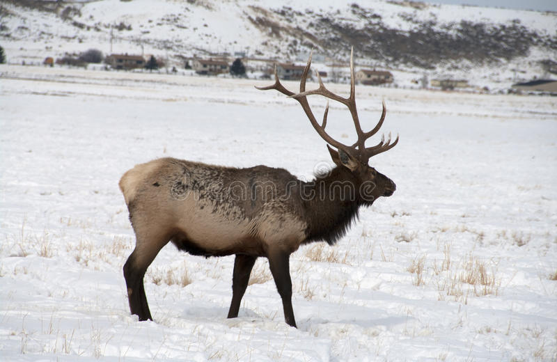 Bull Elk with Large Antlers. A large bull elk in the snow near town. He has 6 points on each side. Trophy elk royalty free stock photography