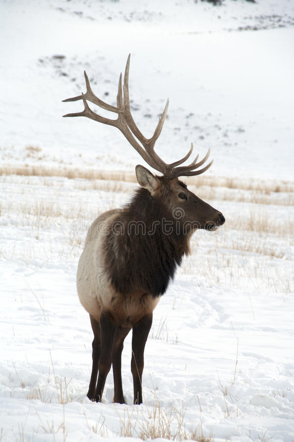 Bull Elk with Large Antlers Standing. A large bull elk standing in the snow looking to his left. He has 6 points on each side. A trophy elk stock image