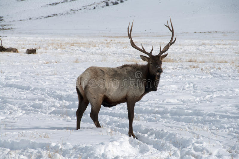 Bull Elk with Large Antlers standing in Snow. A large bull elk standing in the snow. He is a Trophy elk stock photo