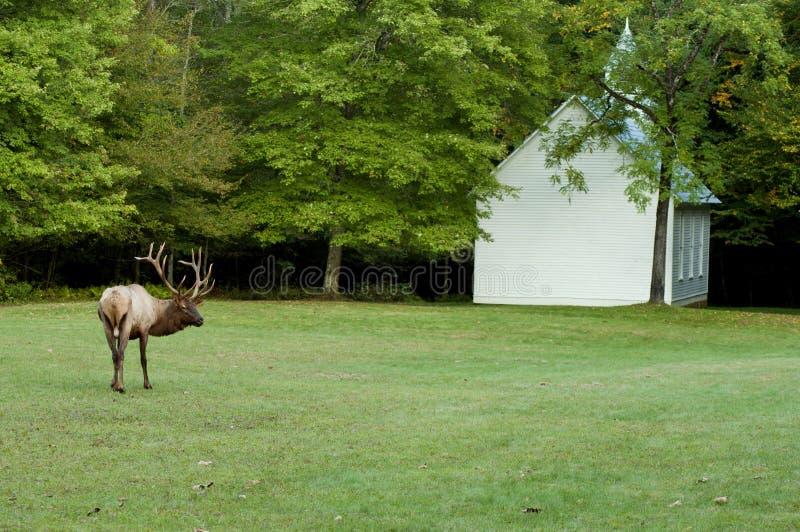 A bull elk and a little white church. A bull elk grazes near a little white church stock image