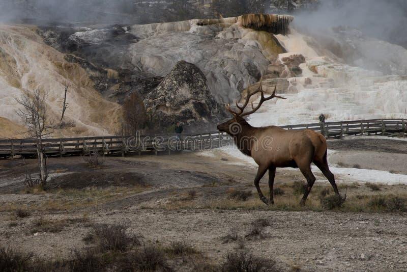 Bull elk Mammoth hot spring royalty free stock image