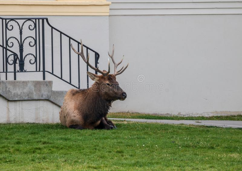 Bull elk relaxing outside a building in Yellowstone National Park stock photos