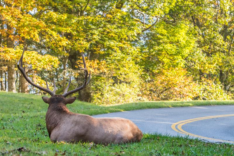 Bull Elk Resting Next to Blue Ridge Parkway royalty free stock photos