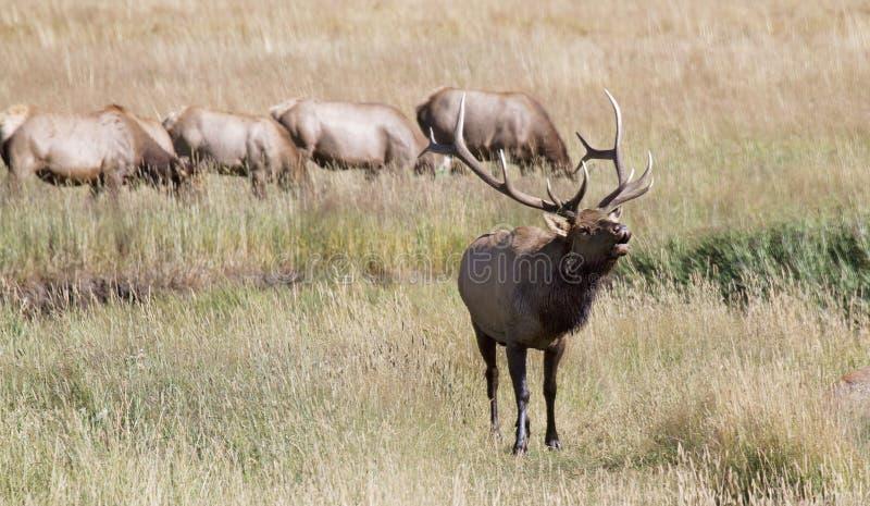 Bull elk in rut, bugling royalty free stock photography