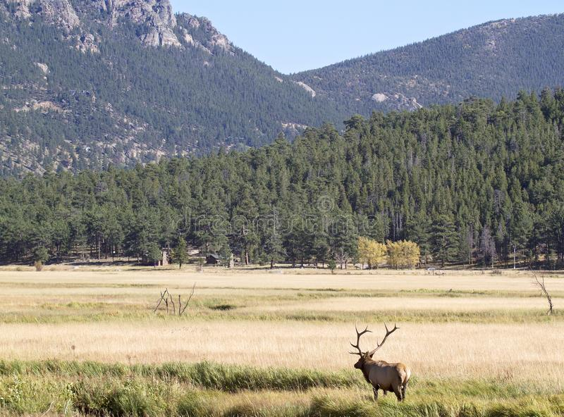 Bull elk in rut. Rocky Mountain National Park stock image