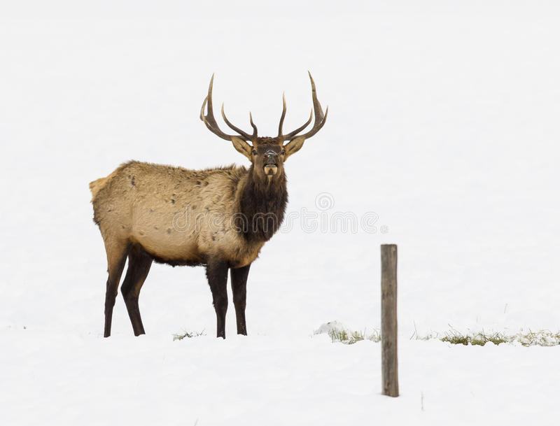 BULL ELK IN SNOW DURING WINTER STOCK IMAGE stock photography