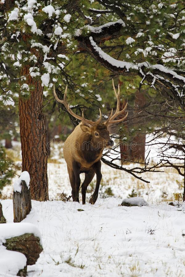 Bull elk in snowy woods of Rocky Mountain National Park royalty free stock images