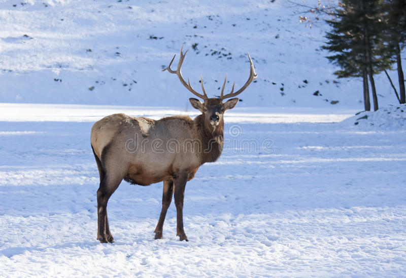 Bull Elk standing in winter snow royalty free stock photography
