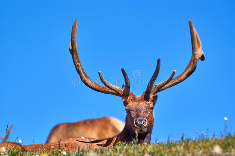 A Bull Elk In Velvet Against Blue Sky. A bull elk lounges on the tundra in Rocky Mountain National Park, Colorado against blue sky royalty free stock photos