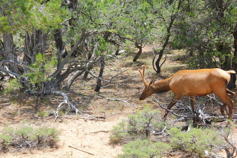 Bull Elk in Velvet stock photo