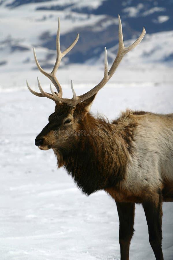 Bull Elk Winter. Beautiful bull elk in a winter wonderland stock image