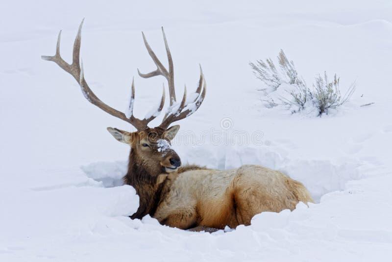 Bull Elk sitting in snow royalty free stock image