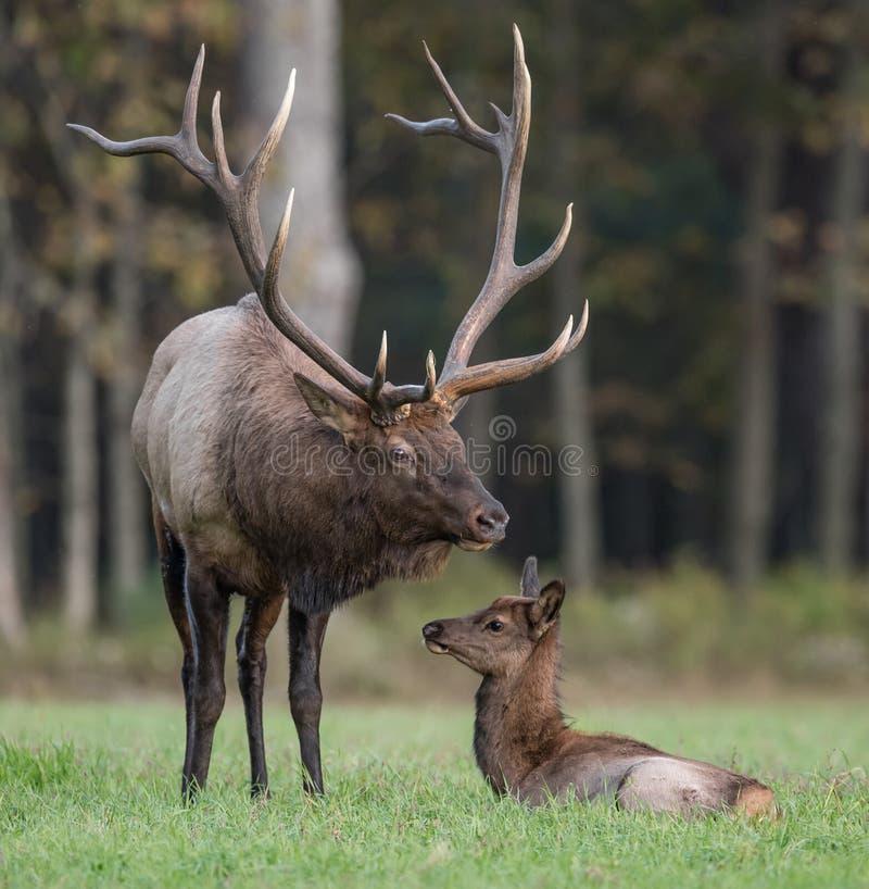 Bull Elk wit Calf. A bull elk with his calf stock photo
