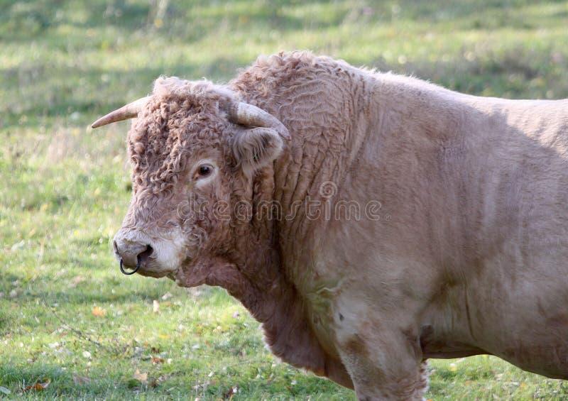 Bull em um campo, Allier, France foto de stock