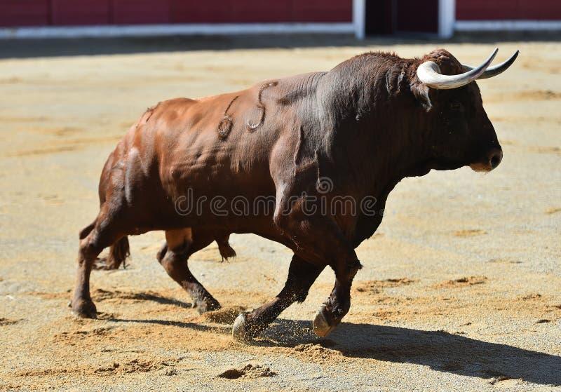 Bull en anillo de la tauromaquia fotos de archivo
