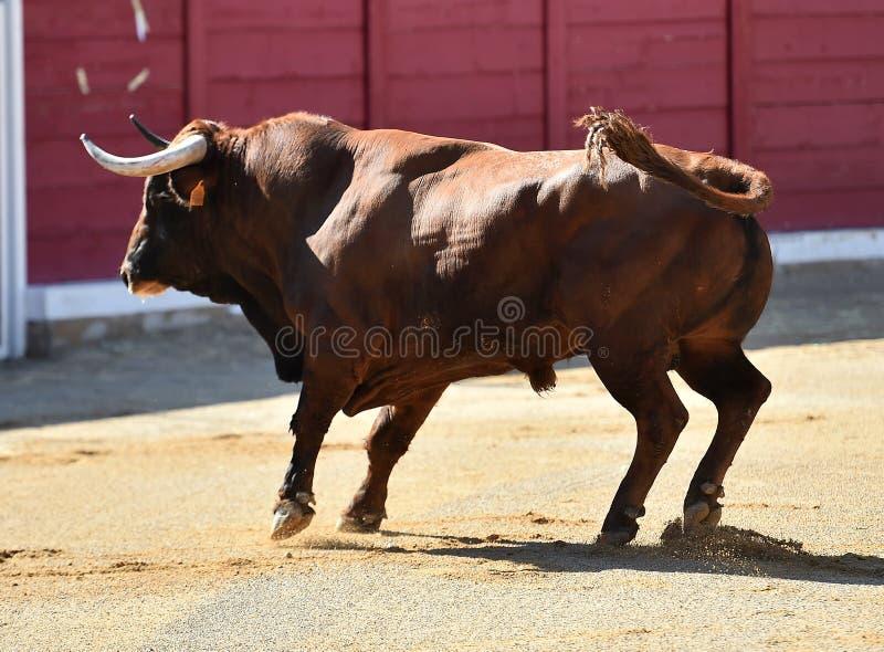 Bull en anillo de la tauromaquia imagenes de archivo