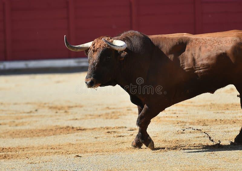 Bull en anillo de la tauromaquia fotografía de archivo libre de regalías