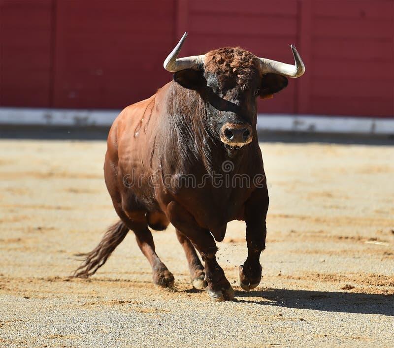 Bull en anillo de la tauromaquia imágenes de archivo libres de regalías