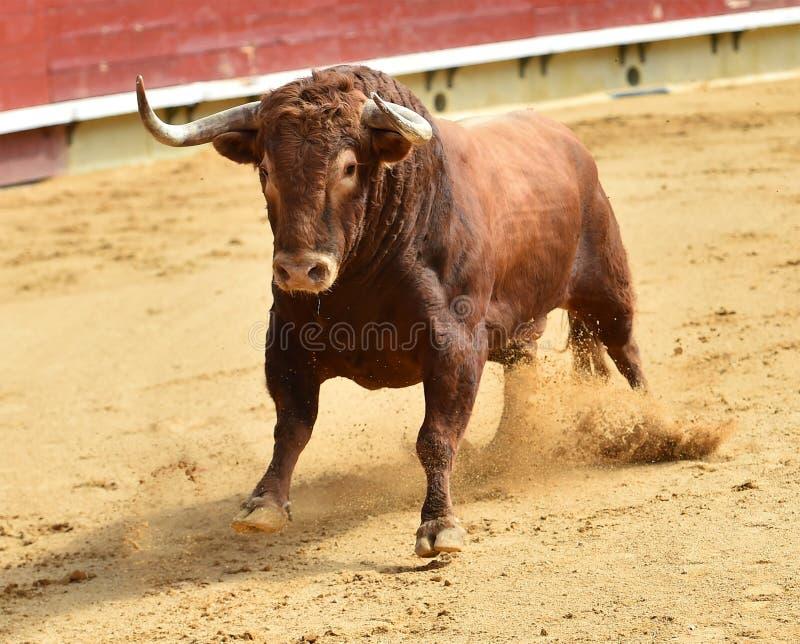 Bull en anillo de la tauromaquia foto de archivo