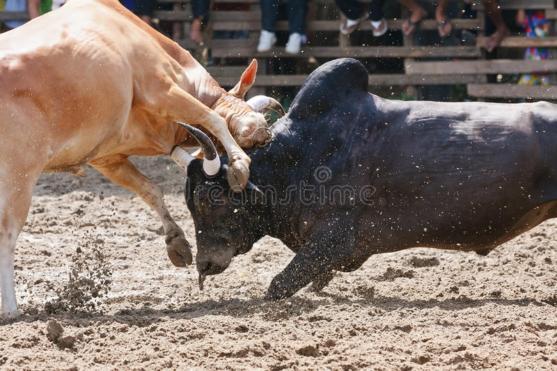 Download Bull fight stock photo. Image of conflict, cattle, mean - 26522224